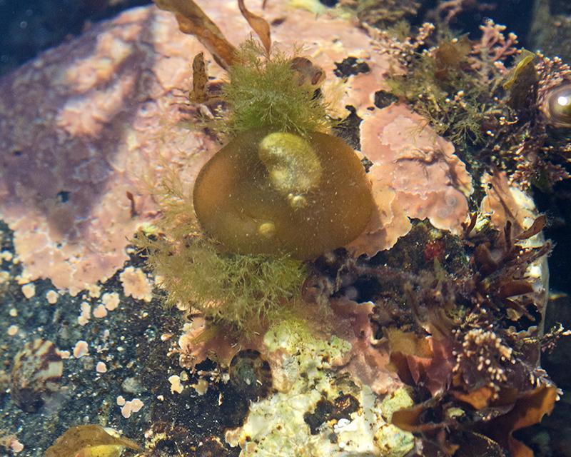 Colpomenia peregrina or Leathesia marina