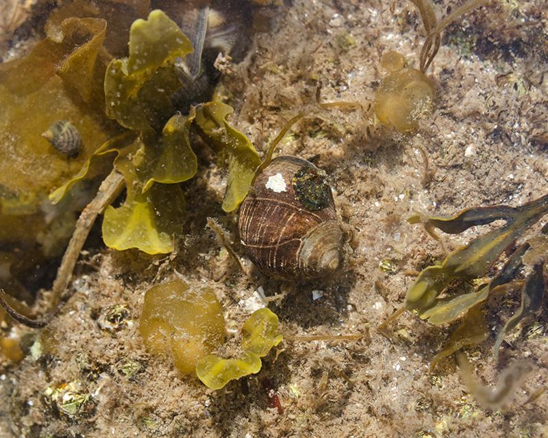 Colpomenia peregrina or Leathesia marina?