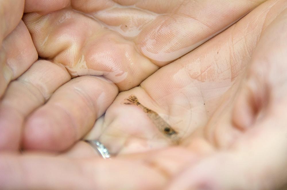 Sand shrimp (Crangon septemspinosa)