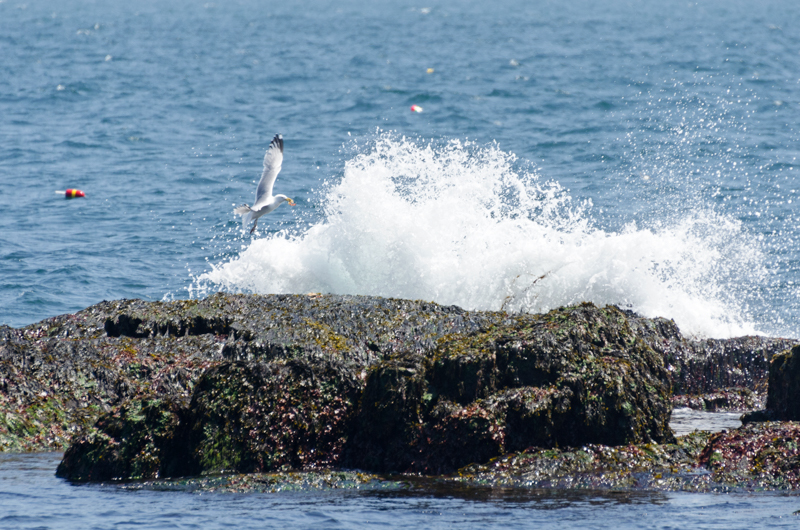 A Herring Gull holding a crab in its bill is startled from its perch by crashing surf, Acadia National Park, Maine