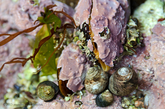 lithothamnion, feeding, marine, bivalve, mollusk, mussel, Horse Mussel, Common Periwinkle, Littorina littorea, coralline, crustose, Acadia, Acadia National Park, Maine, Mount Desert Island, New England, coast, coastline, seashore, shore, shoreline, snails, snail, encrusted, tidepool, tide pool, Modiolus modiolus, Horse Mussels, periwinkle,